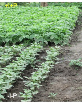 N2Africa's public-private partnerships promoting legumes for food, feed and seed in Ethiopia