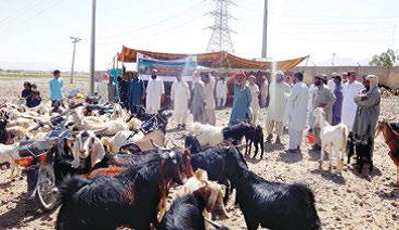 Animal health camps on anthelmintic treatment in District Khuzdar Balochistan