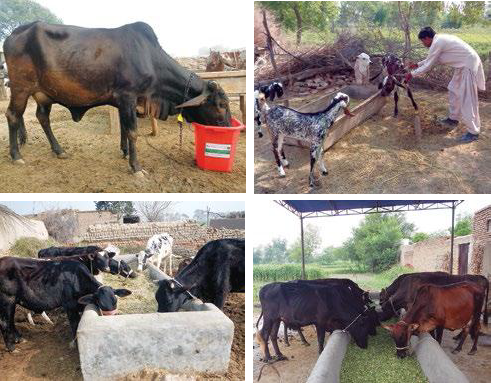 Various livestock interventions in dairy value chain targeted areas of Punjab